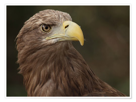 Premium poster Golden eagle