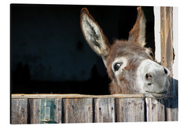 Aluminium print  Cute & curious little donkey