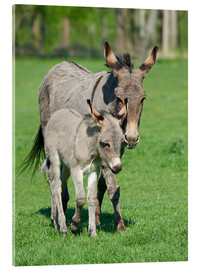 Acrylic print  Donkey mum and her little baby