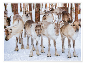 Reindeer in winter in Lapland