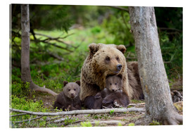Acrylic print  Brown bear with cubs in forest