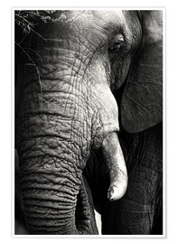 Premium poster Elephant in the portrait