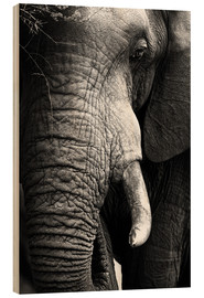 Wood print  Elephant in the portrait - Johan Swanepoel