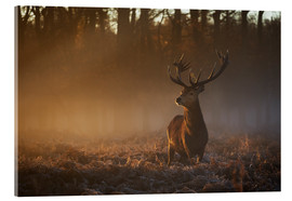 Acrylic print  Stag in autumn sunrise - Alex Saberi
