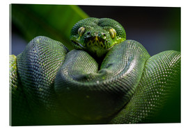 Acrylic print  green tree python - WildlifePhotography