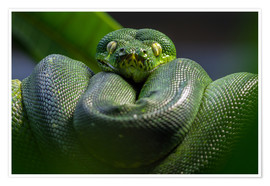 Poster  green tree python  - WildlifePhotography