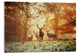 Acrylic print  Stags and deer in an autumn forest with mist - Alex Saberi