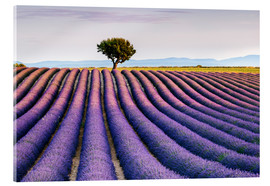 Acrylic print  Lavender field and tree at sunset, Provence - Matteo Colombo