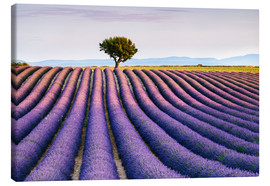 Canvas print  Lavender field and tree at sunset, Provence - Matteo Colombo