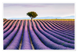 Premium poster Lavender field and tree at sunset, Provence