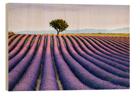 Wood print  Lavender field and tree at sunset, Provence - Matteo Colombo