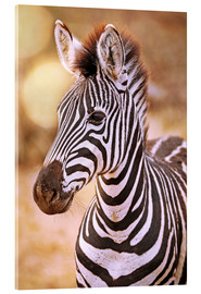Acrylic glass  Young Zebra, South Africa - wiw