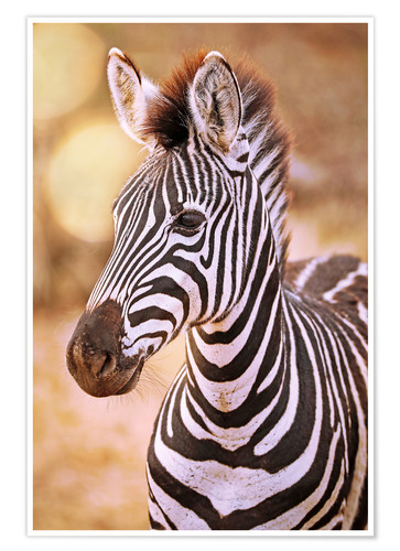 Premium poster Young Zebra, South Africa