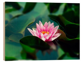 Wood print  Summer water lily IV - blackpool