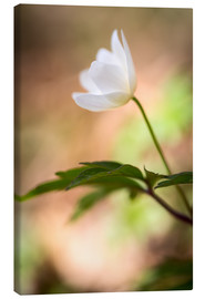 Canvas print  Wood anemone - blooming with soft background - Mark Scheper