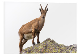 Foam board print  Ibex perched on rock isolated on white background - Fabio Lamanna