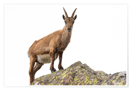 Premium poster Ibex perched on rock isolated on white background