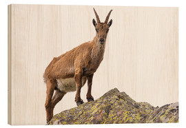 Wood print  Ibex perched on rock isolated on white background - Fabio Lamanna