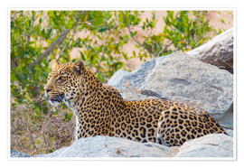Premium poster Leopard between rocks close up Kruger National Park, South Africa