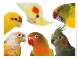 Premium poster Colorful parakeets