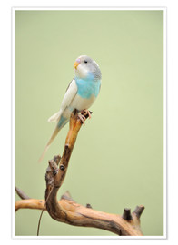 Premium poster budgie resting on a branch