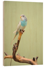 Wood print  budgie resting on a branch
