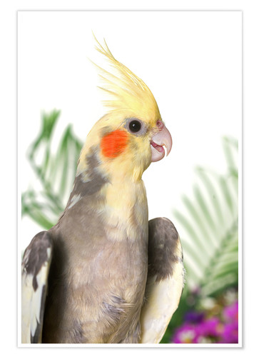 Premium poster Gray cockatiel with flowers
