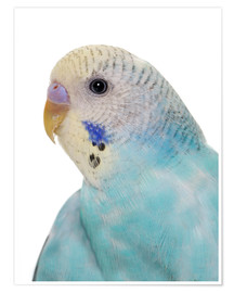 Premium poster Young, blue budgerigar
