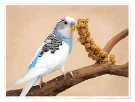 Premium poster Budgerigar on branch eating millet