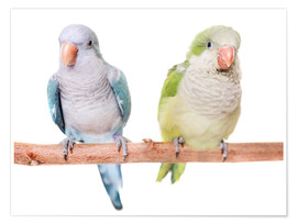 Premium poster Monk parakeet in front of white background