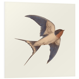 Foam board print  Barn swallow - Terry Fan