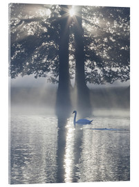 Acrylic print  Swan on misty lake - Alex Saberi