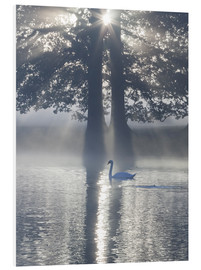 Foam board print  Swan on misty lake - Alex Saberi