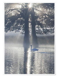 Premium poster Swan on misty lake