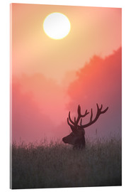 Acrylic print  A male deer Stag at sunset - Alex Saberi