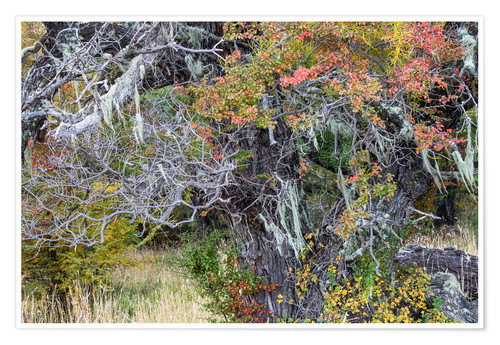 Premium poster Magellanic forest in autumn colors, Patagonia, Argentina