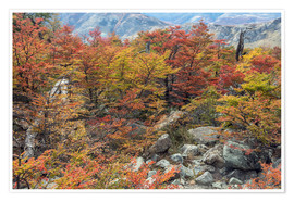 Premium poster Autumn colos in the magellanic forest, Patagonia, Argentina
