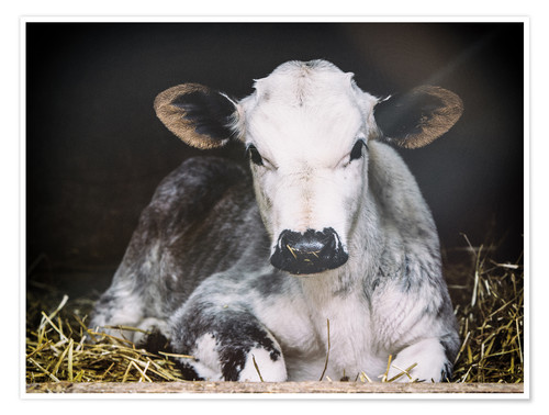 Premium poster Young calf in the hay