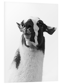 Foam board print  Loveable llama I - Laura Marshall
