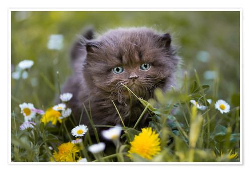 Premium poster kitten on a meadow in summer