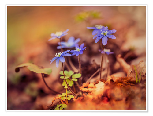 Premium poster Morning impresion with blue liverwort