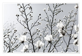 Poster White Blossoms 1