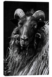 Canvas print  Heidschnucken Sheep - Martina Cross