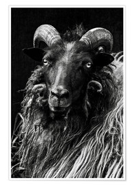 Premium poster Heidschnucken Sheep