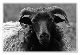 Premium poster Grey Heidschnucke - Sheep
