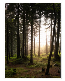 Premium poster Forest in the evening light