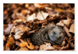 Premium poster Sleeping baby hedgehog