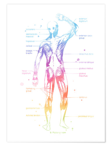 Premium poster Rainbow Muscle System II