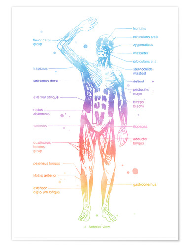 Premium poster Rainbow Muscle System I.