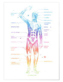 Premium poster  Rainbow Muscle System - Mod Pop Deco